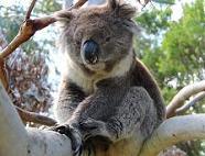 австралийская коала на дереве