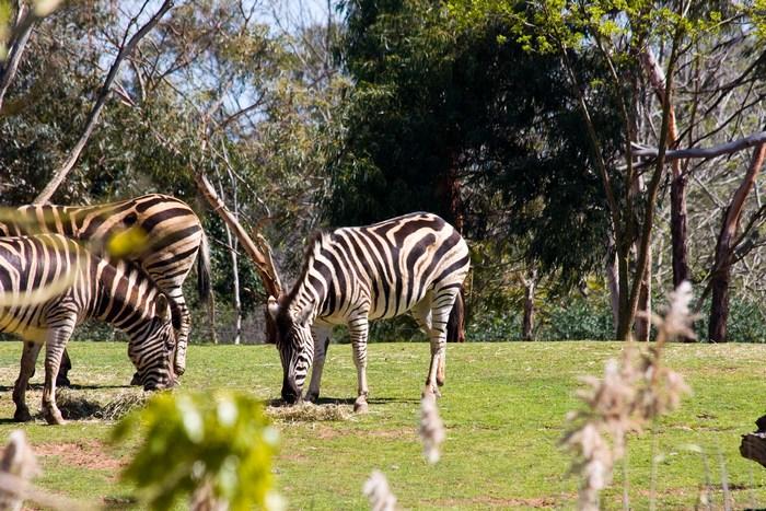 Сафари парк в Мельбурне Верриби (Werribee)