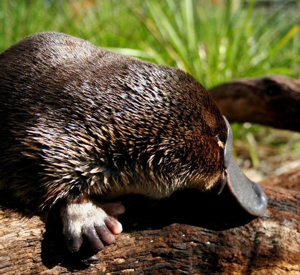 Утконос - уникальное австралийское животное