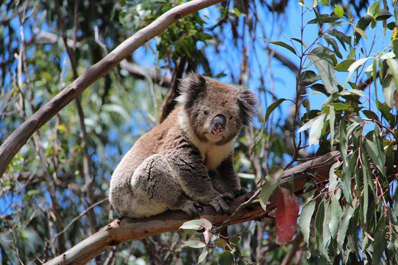 дикая коала в Австралии