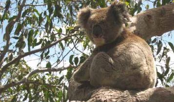 коала на острове Кенгуру