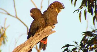 Глянцевый Черный Попугай Какаду