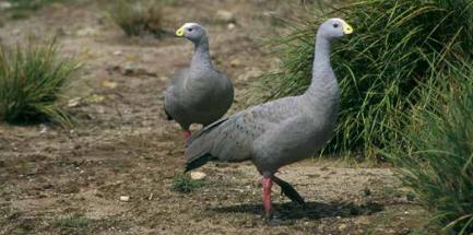 Гуси мыса Баррон - один из самых редких видов диких гусей на планете