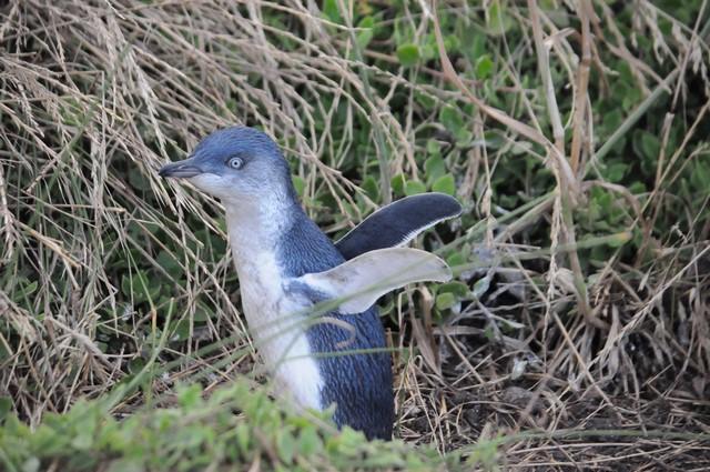 малый пингвин острова Кенгуру