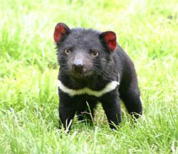 Тасманийский дьявол: Живой Австралийский Хищник